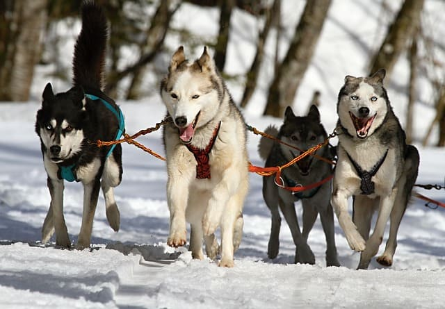 dog sledding - things to do in Switzerland for couples