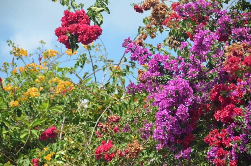 brightly colored bougainvillea flowers in bloom - perfect for a guatemala honeymoon