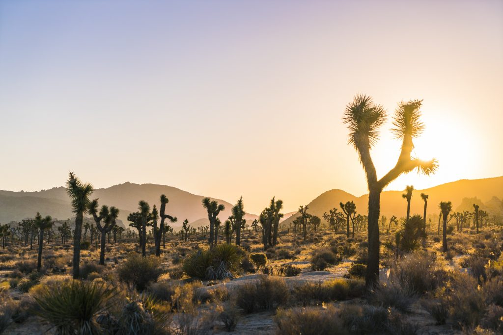 desert landscape with prickly trees and hills in background, sun is setting