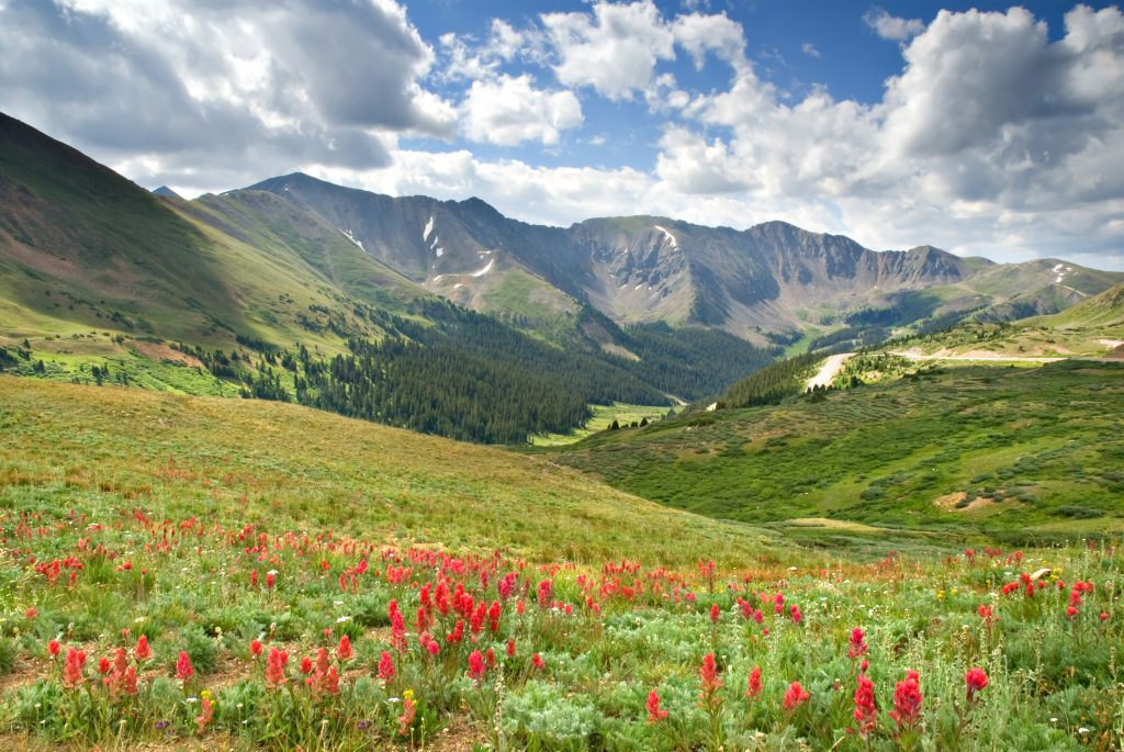Alpine meadow full of Scarlet Paintbrush at Loveland Pass in Colorado.