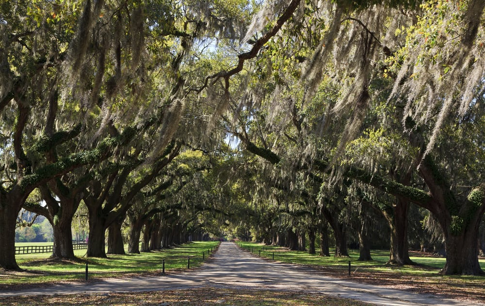 romantic getaway in charleston sc - Old live oak trees beside a driveway in South Carolina